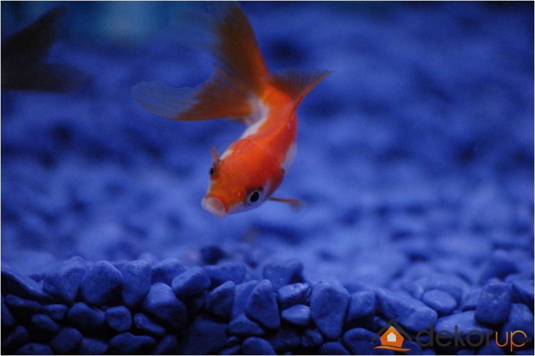 Japon Balığı Akvaryum